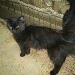 اجمل قطط شرازي لون اسود