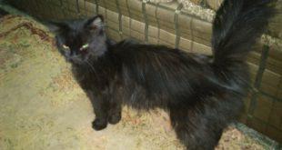 صورة اجمل قطط شرازي لون اسود
