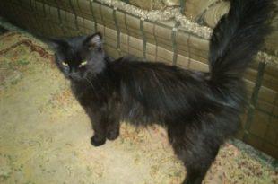 صور اجمل قطط شرازي لون اسود