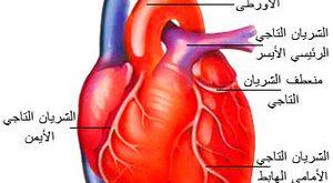 صورة لتقوية عضلات القلب