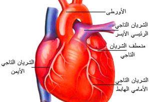 بالصور لتقوية عضلات القلب 300px Heart 300x205