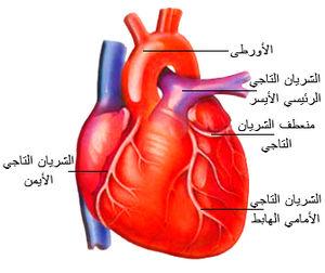 لتقوية عضلات القلب