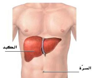اين تقع الكبد في جسم الانسان