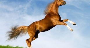 صفات الحصان