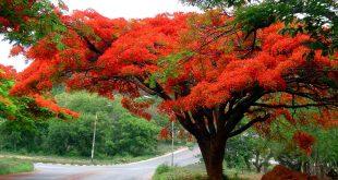 صوره شجرة الحمر ارتفاع
