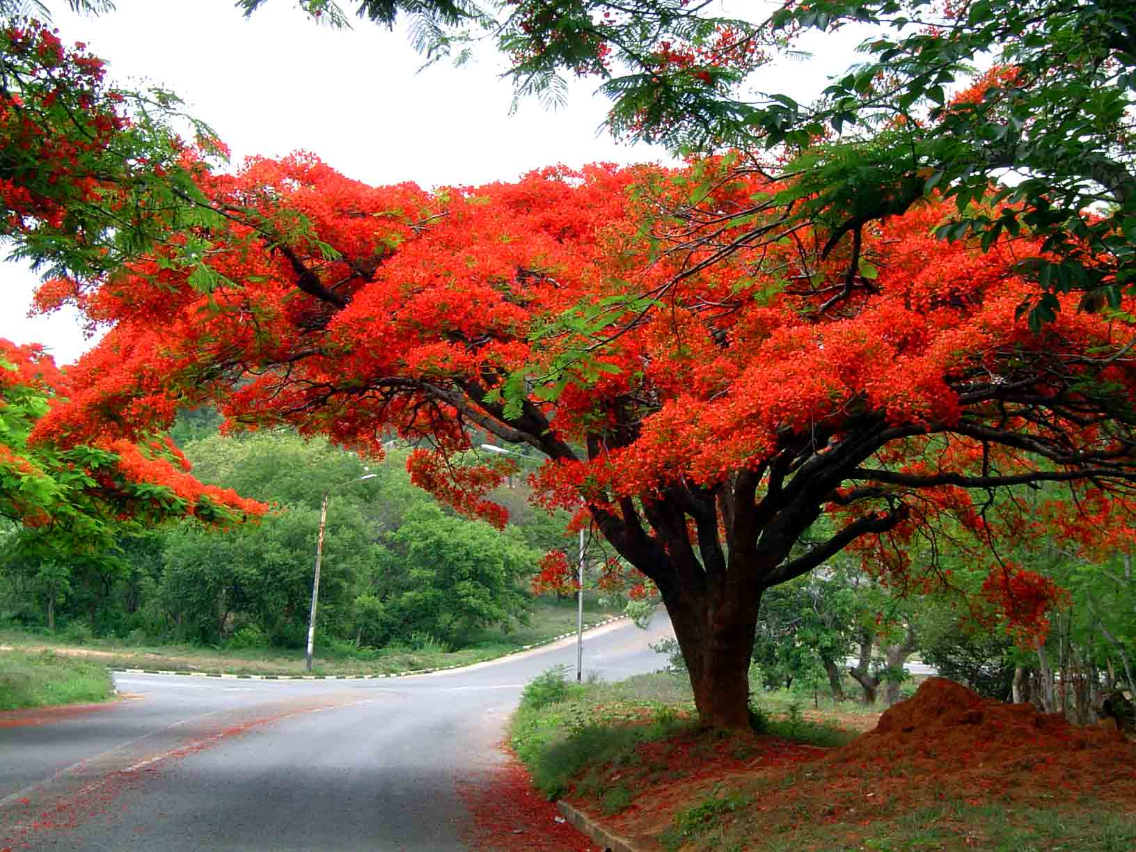 صور شجرة الحمر ارتفاع