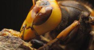صورة ماعدد عيون النحله