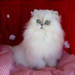 انواع قطط الشيرازي