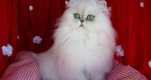 صورة انواع قطط الشيرازي