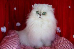 صور انواع قطط الشيرازي