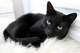 صور قطة سوداء في الحلم