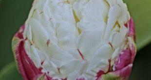 صور زنبق ايس كريم
