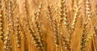 البرغل والقمح