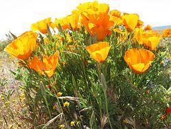 نبات الخشخاش