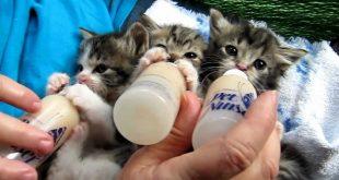 صور اجمل انواع القطط البيكى فيس