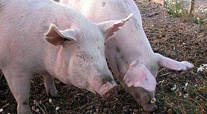 صور موضوع متكامل عن ضرر الخنازير