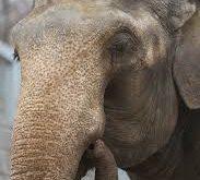 صورة صور فيل ,لكل الطفال 11999 6 183x165