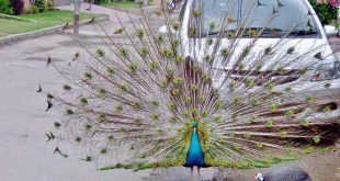 صور طاووس , الطائر البديع