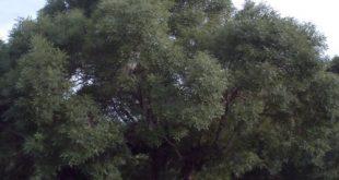صورة صورة شجرة الدردارة عشبة الدردار
