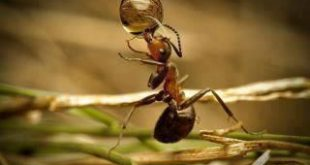 صورة تحضير نص من عجائب النمل