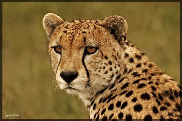 صور صور الفهد
