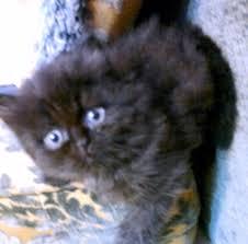 صورة اجمل قطط شيرازي لون اسود
