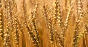صورة الفرق بين البرغل والقمح