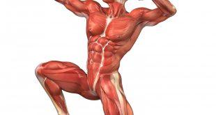 صورة كم عدد العضلات في الجسم