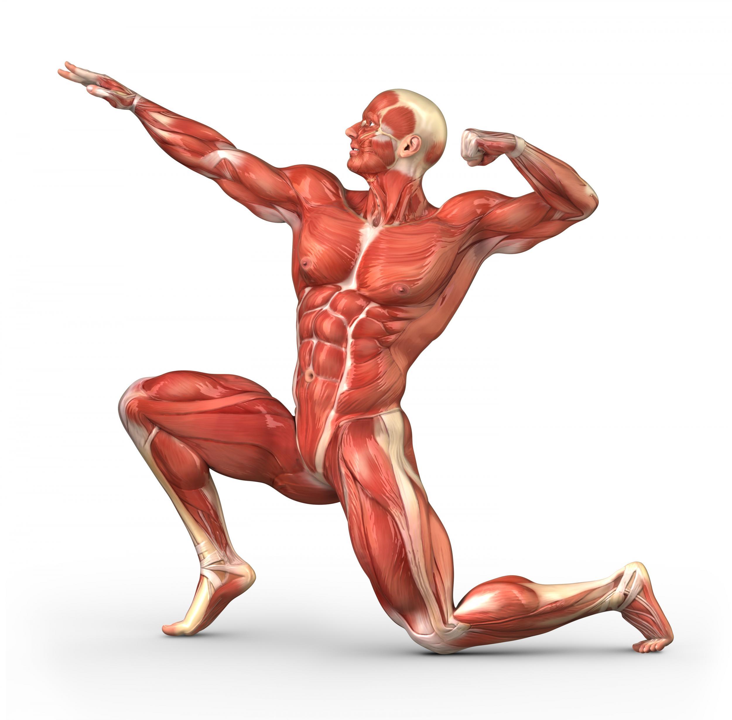 صور كم عدد العضلات في الجسم