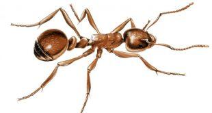 بحث عن النملة , معلومات عن النملة