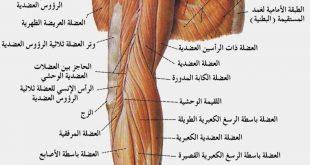 كم عدد العضلات في الجسم البشري