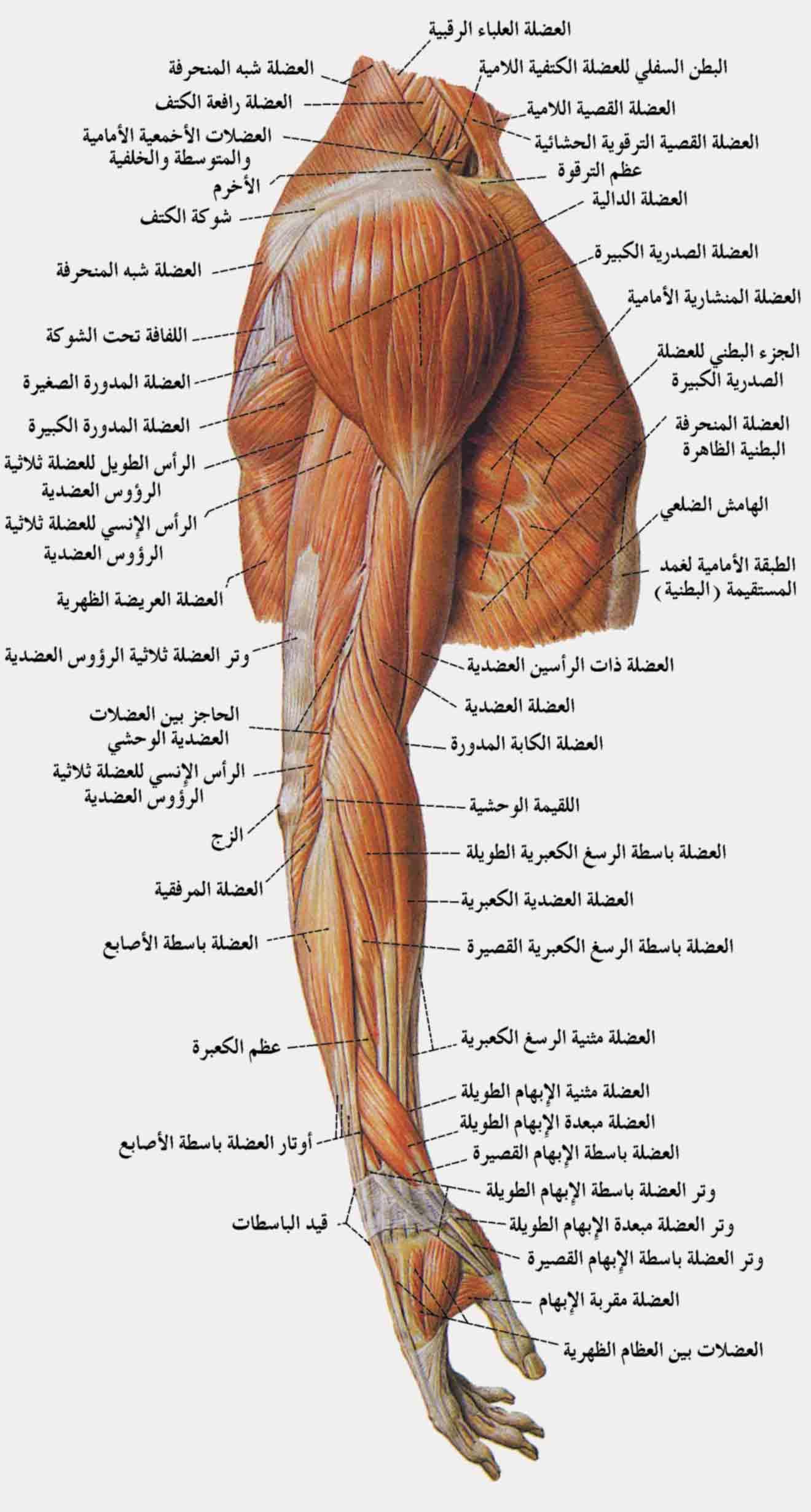 بالصور و الشرح : علم وظائف أعضاء جسم الإنسان - مع تشريح جسم الانسان - ملتقى  الشفاء الإسلامي