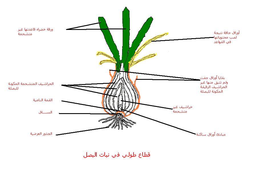 صور سبب خروج اوراق البصل في البيت