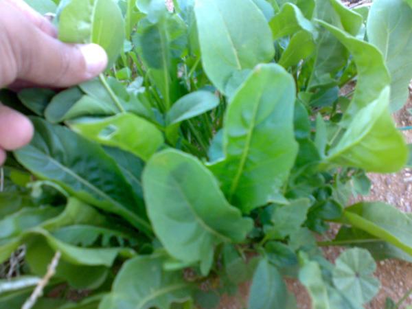 صور اهم فوائد نبات الجرجير