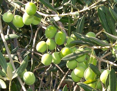 صور موضوع عن شجرة الزيتون
