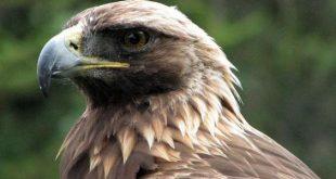 صورة ماذا تسمى انثى النسر معلومات هذا الطائر