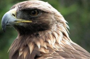 صوره ماذا تسمى انثى النسر معلومات هذا الطائر